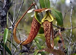 Pitcher Plant (Nepenthes rafflesiana)
